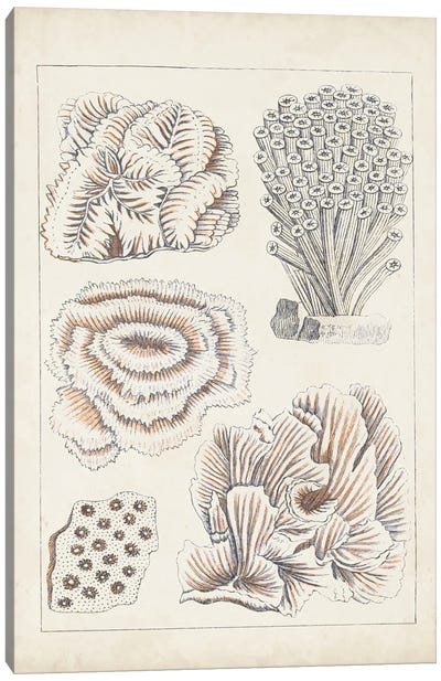 Antique White Coral I Canvas Art Print