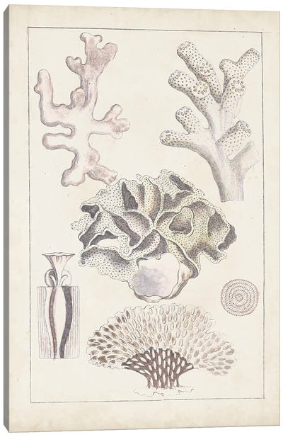 Antique White Coral IV Canvas Art Print
