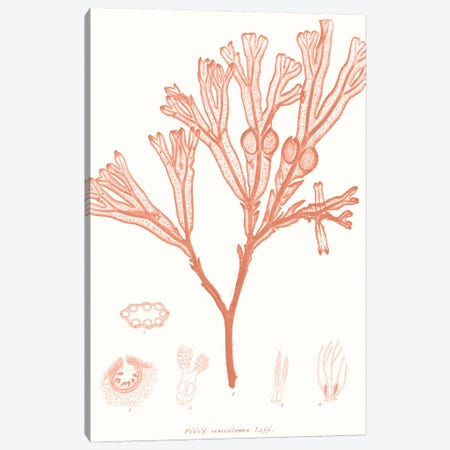Vivid Coral Seaweed III Canvas Print #VSN625} by Vision Studio Art Print