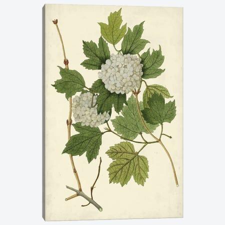 Flowering Viburnum II Canvas Print #VSN655} by Vision Studio Canvas Wall Art