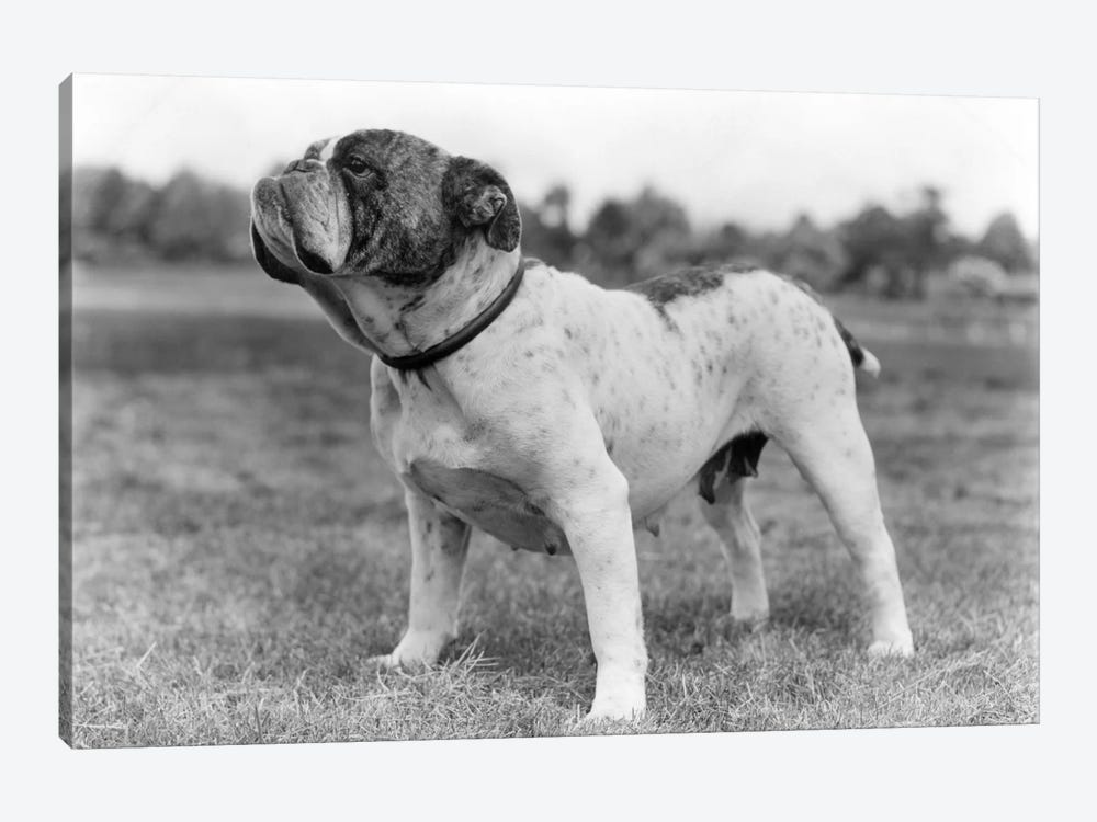 1930s Stubborn Strong Bull Dog Standing Full Figure In Profile Outdoors In Grass by Vintage Images 1-piece Canvas Artwork