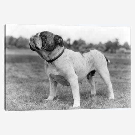 1930s Stubborn Strong Bull Dog Standing Full Figure In Profile Outdoors In Grass 3-Piece Canvas #VTG132} by Vintage Images Canvas Art