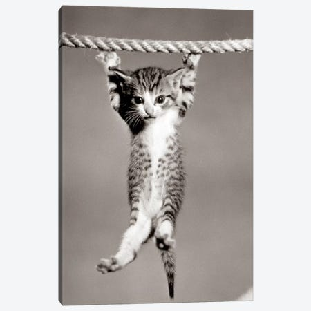 1950s Little Kitten Hanging From Rope Looking At Camera Canvas Print #VTG304} by Vintage Images Canvas Artwork