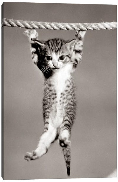 1950s Little Kitten Hanging From Rope Looking At Camera Canvas Art Print