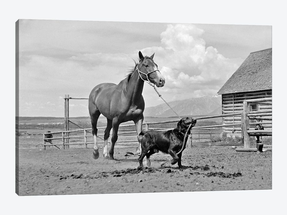 1950s-1960s Black Dog Leading Horse By Holding Rope Halter In His Mouth by Vintage Images 1-piece Canvas Art Print