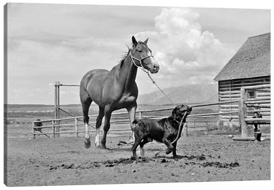 1950s-1960s Black Dog Leading Horse By Holding Rope Halter In His Mouth Canvas Art Print