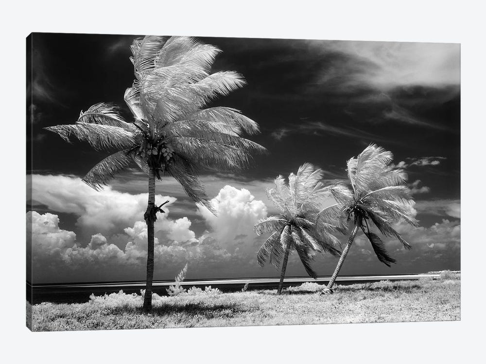 1960s Infrared Scenic Photograph Of Tropical Palm Trees Blowing In Storm Florida Keys USA by Vintage Images 1-piece Canvas Artwork