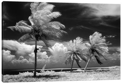 1960s Infrared Scenic Photograph Of Tropical Palm Trees Blowing In Storm Florida Keys USA Canvas Art Print