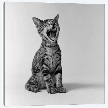 1960s Kitten Sitting & Yawning Canvas Print #VTG431} by Vintage Images Canvas Art Print
