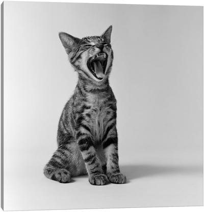 1960s Kitten Sitting & Yawning Canvas Art Print