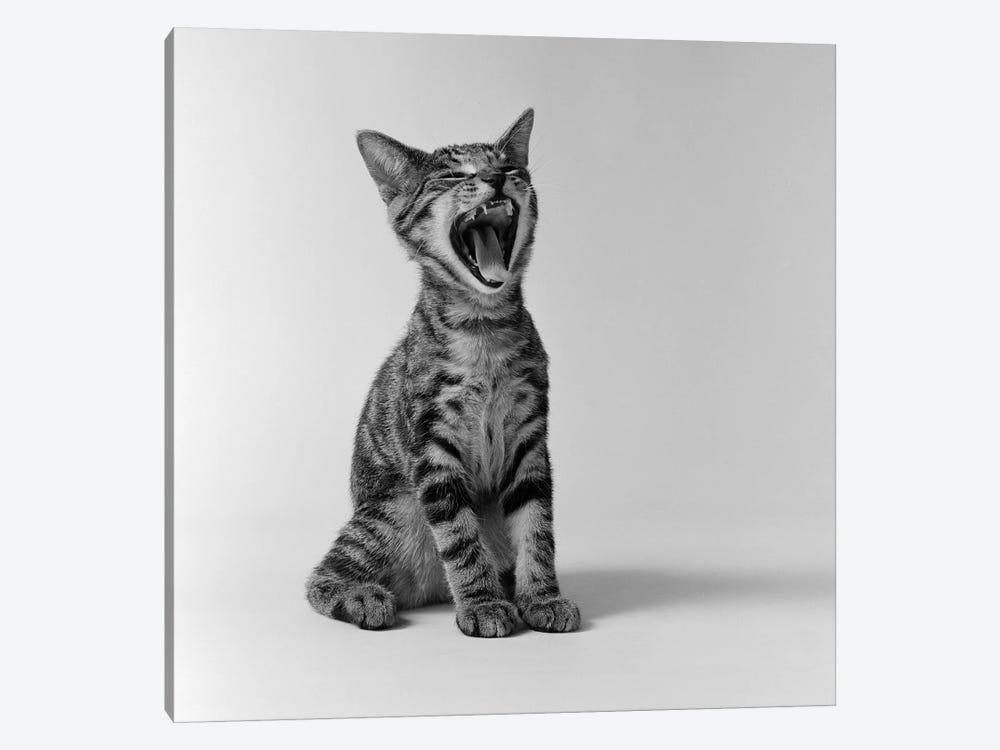1960s Kitten Sitting & Yawning by Vintage Images 1-piece Art Print