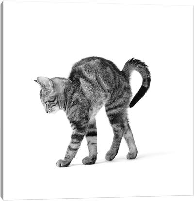 1960s Side View Of Kitten Stretching Out With Arched Back Canvas Art Print