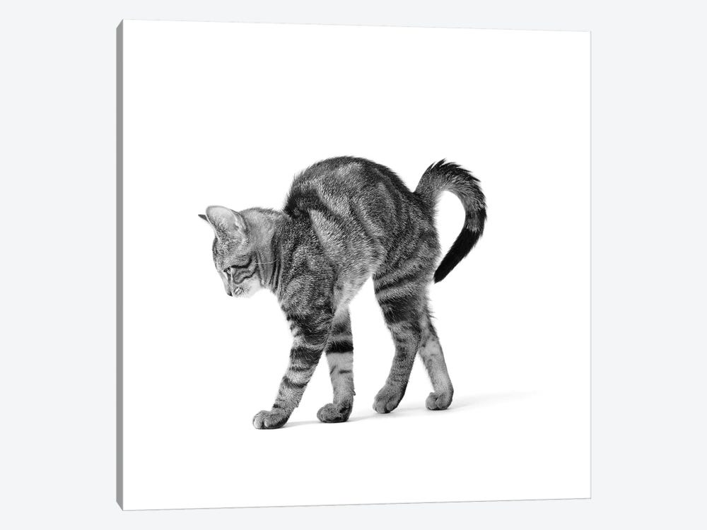 1960s Side View Of Kitten Stretching Out With Arched Back by Vintage Images 1-piece Canvas Art Print