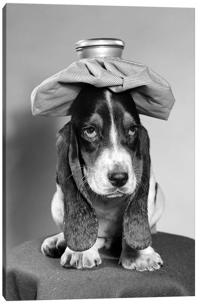 Bassett Hound Dog With Ice Pack On Head Canvas Art Print