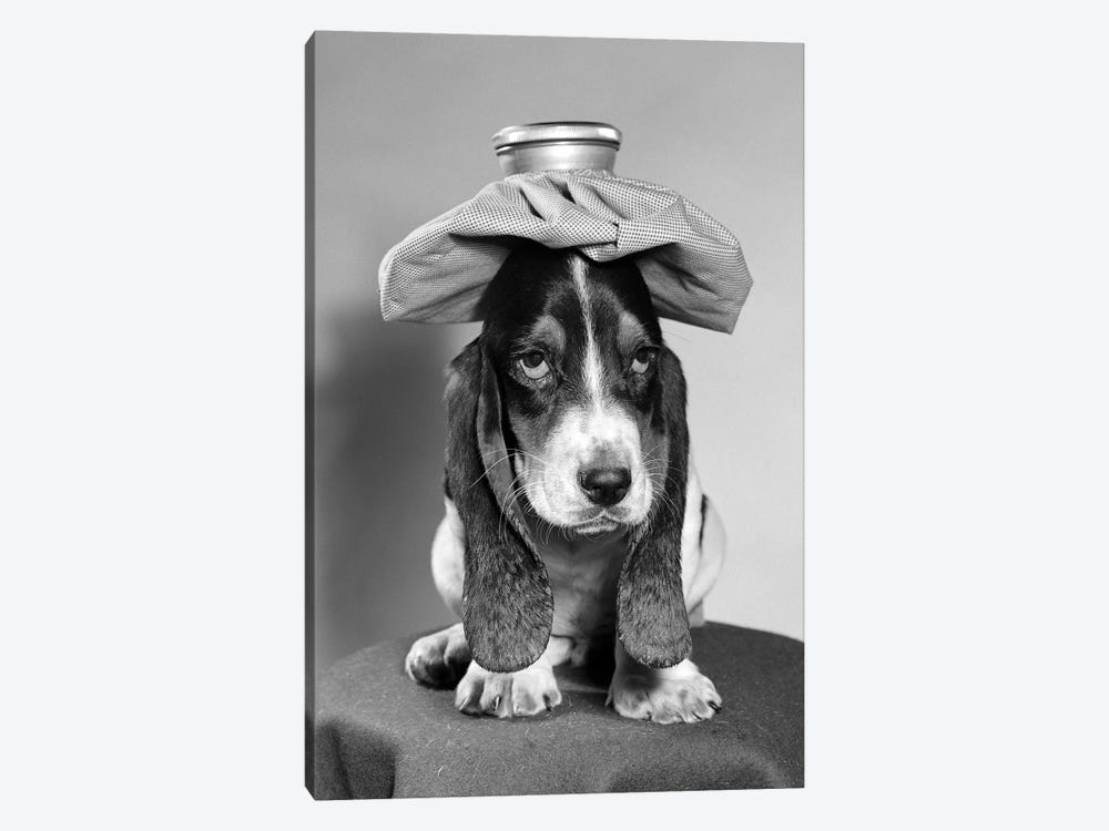 Bassett Hound Dog With Ice Pack On Head by Vintage Images 1-piece Canvas Print