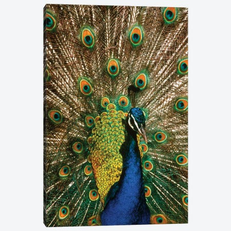 Male Peacock Indian Peafowl Pavo Cristatus Displaying Tail Feathers Canvas Print #VTG527} by Vintage Images Canvas Art