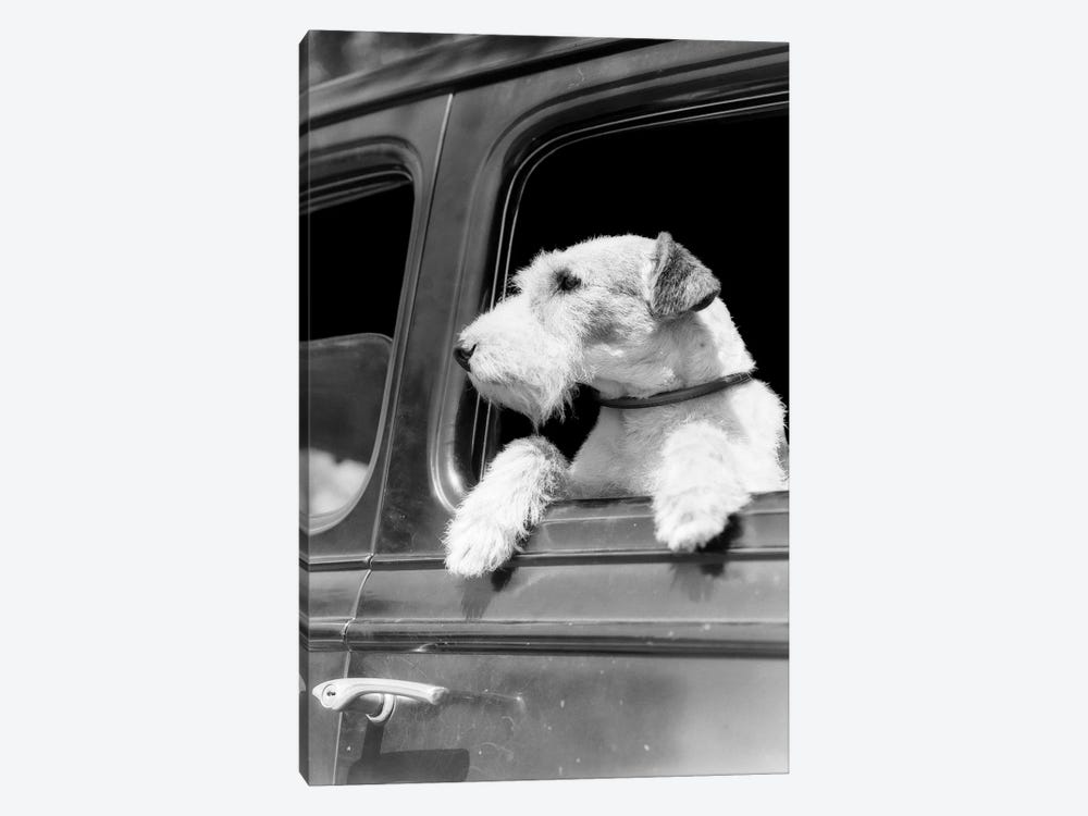 Profile Portrait Of Wire Fox Terrier Dog Looking Out Of Automobile Window by Vintage Images 1-piece Art Print