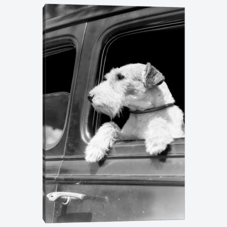 Profile Portrait Of Wire Fox Terrier Dog Looking Out Of Automobile Window 3-Piece Canvas #VTG530} by Vintage Images Canvas Wall Art
