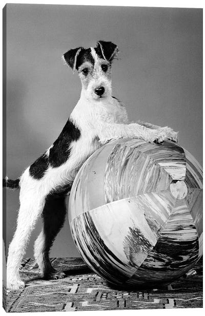 1940s Terrier In Playful Pose Front Paws Up On Large Ball Ready To Play Canvas Art Print