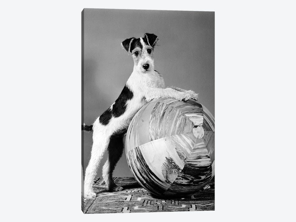 1940s Terrier In Playful Pose Front Paws Up On Large Ball Ready To Play by Vintage Images 1-piece Art Print