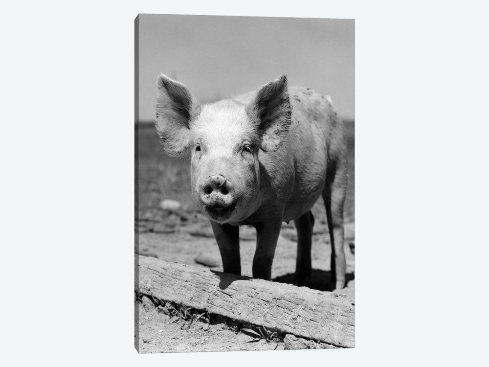 1950s Close-Up Of Chester White And American Yorkshire Pig With Ring In Nose Looking At Camera by Vintage Images 1-piece Canvas Artwork