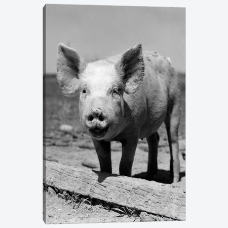 1950s Close-Up Of Chester White And American Yorkshire Pig With Ring In Nose Looking At Camera 3-Piece Canvas #VTG557} by Vintage Images Canvas Print