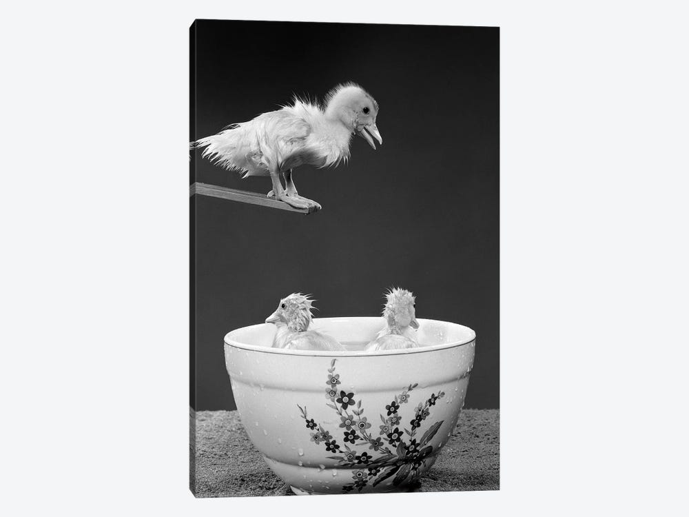1950s Duckling On Diving Board Looking Down At Two Other Ducklings In Deep Bowl Filled With Water by Vintage Images 1-piece Art Print