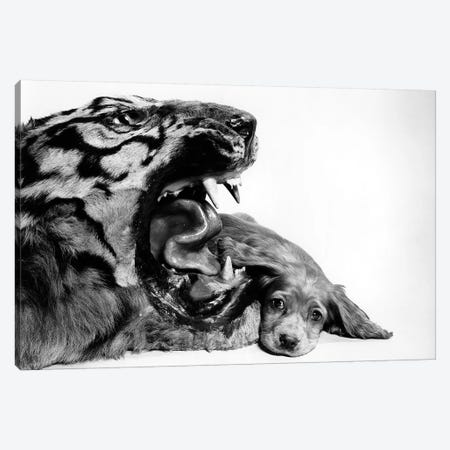 1950s Funny Image Of Cocker Spaniel Puppy Lying Down Beside Fierce Mouth Of A Tiger Canvas Print #VTG563} by Vintage Images Canvas Print