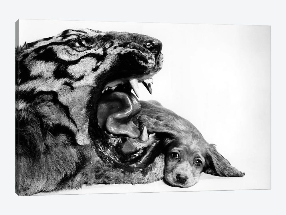 1950s Funny Image Of Cocker Spaniel Puppy Lying Down Beside Fierce Mouth Of A Tiger 1-piece Art Print