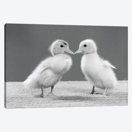 1950s Pair Of Ducklings Standing Beak-To-Beak Canvas Print #VTG564} by Vintage Images Canvas Art