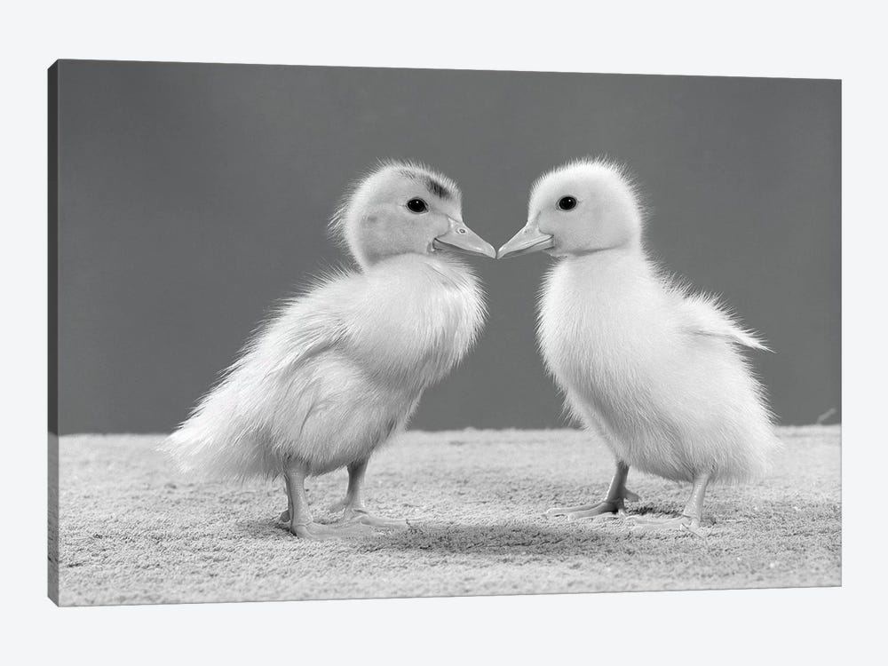 1950s Pair Of Ducklings Standing Beak-To-Beak by Vintage Images 1-piece Canvas Artwork