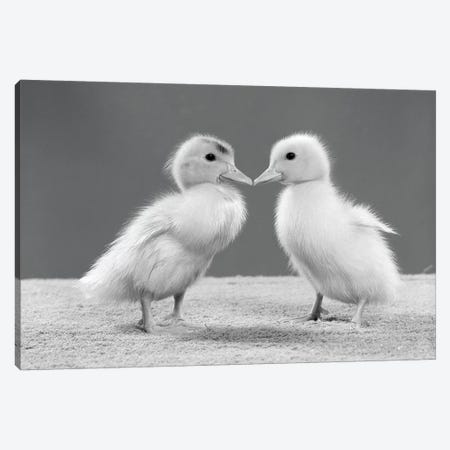 1950s Pair Of Ducklings Standing Beak-To-Beak 3-Piece Canvas #VTG564} by Vintage Images Canvas Art