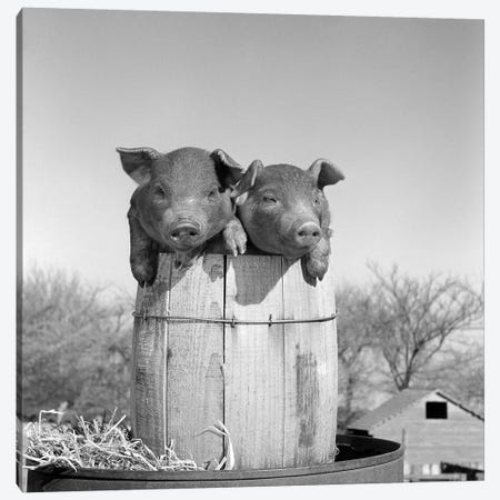 1950s Two Duroc Piglets In A Nail Keg Barrel Farm Barn In Background Pork Barrel Canvas Print #VTG572} by Vintage Images Canvas Wall Art