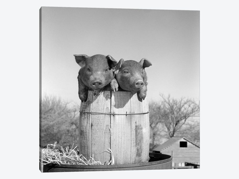 1950s Two Duroc Piglets In A Nail Keg Barrel Farm Barn In Background Pork Barrel by Vintage Images 1-piece Art Print