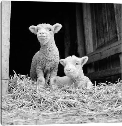 1950s-60s Two Baby Lambs On Straw In Farm Barn Spring Season Canvas Art Print