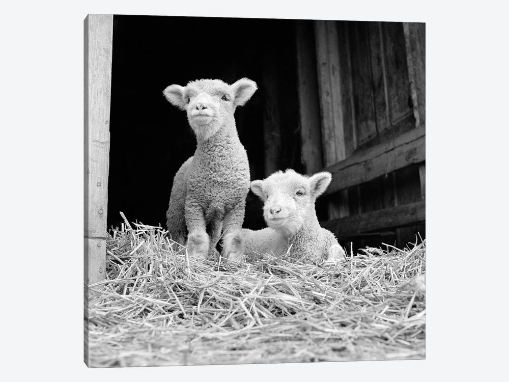 1950s-60s Two Baby Lambs On Straw In Farm Barn Spring Season by Vintage Images 1-piece Canvas Art Print
