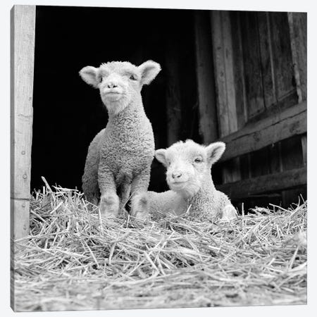 1950s-60s Two Baby Lambs On Straw In Farm Barn Spring Season 3-Piece Canvas #VTG574} by Vintage Images Canvas Art Print
