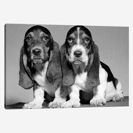 1960s Pair Of Basset Pups Sitting Shoulder-To-Shoulder Looking At Camera Canvas Print #VTG582} by Vintage Images Art Print