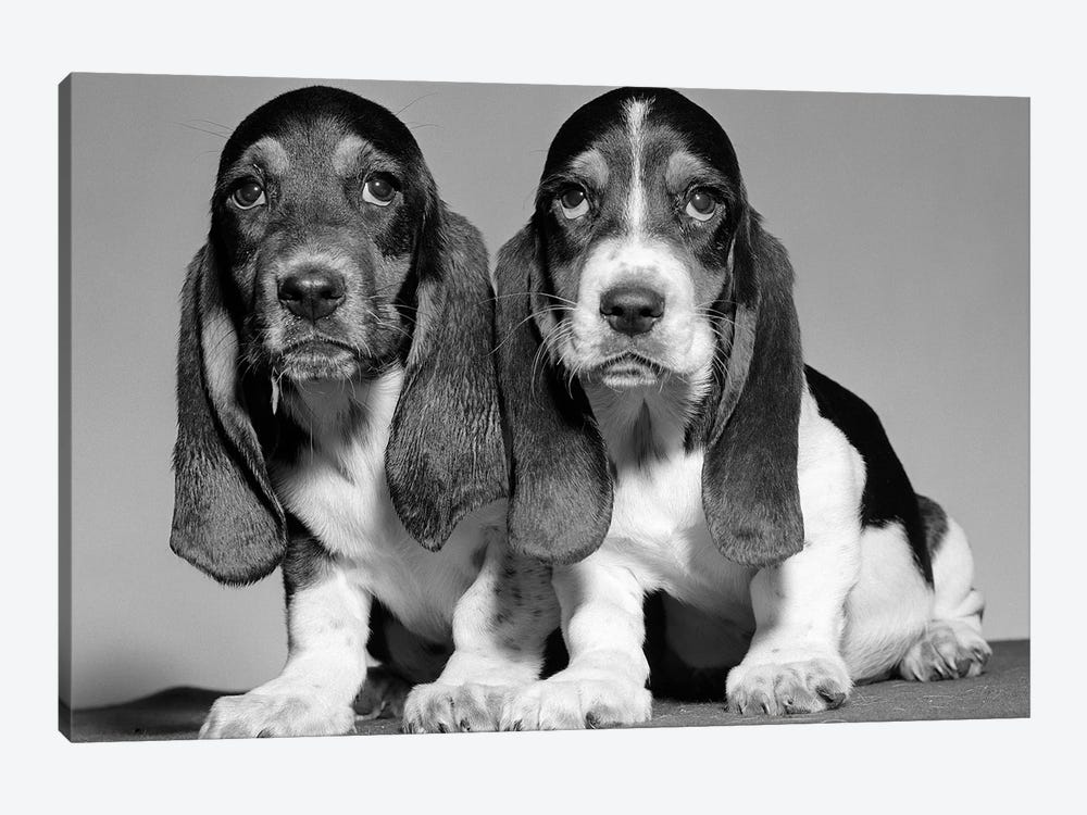 1960s Pair Of Basset Pups Sitting Shoulder-To-Shoulder Looking At Camera by Vintage Images 1-piece Canvas Art