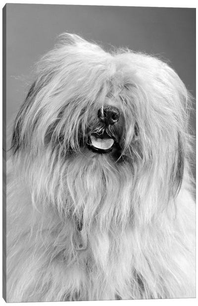 1960s Portrait Of Old English Sheepdog With Hair Covering Eyes & Tongue Barely Hanging Out Looking At Camera Canvas Art Print