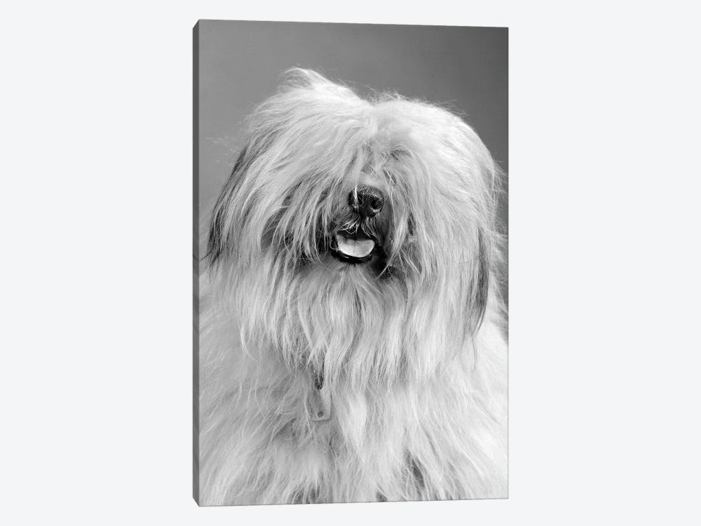 1960s Portrait Of Old English Sheepdog With Hair Covering Eyes & Tongue Barely Hanging Out Looking At Camera by Vintage Images 1-piece Canvas Art