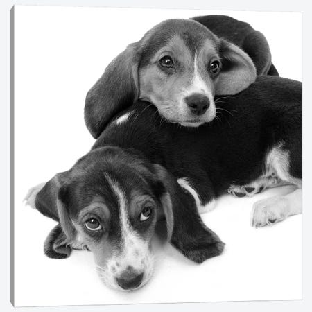1960s Two Adorable Sad Eyed Beagle Puppies Lying One On Top The Other Canvas Print #VTG591} by Vintage Images Canvas Artwork