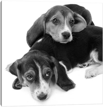 1960s Two Adorable Sad Eyed Beagle Puppies Lying One On Top The Other Canvas Art Print