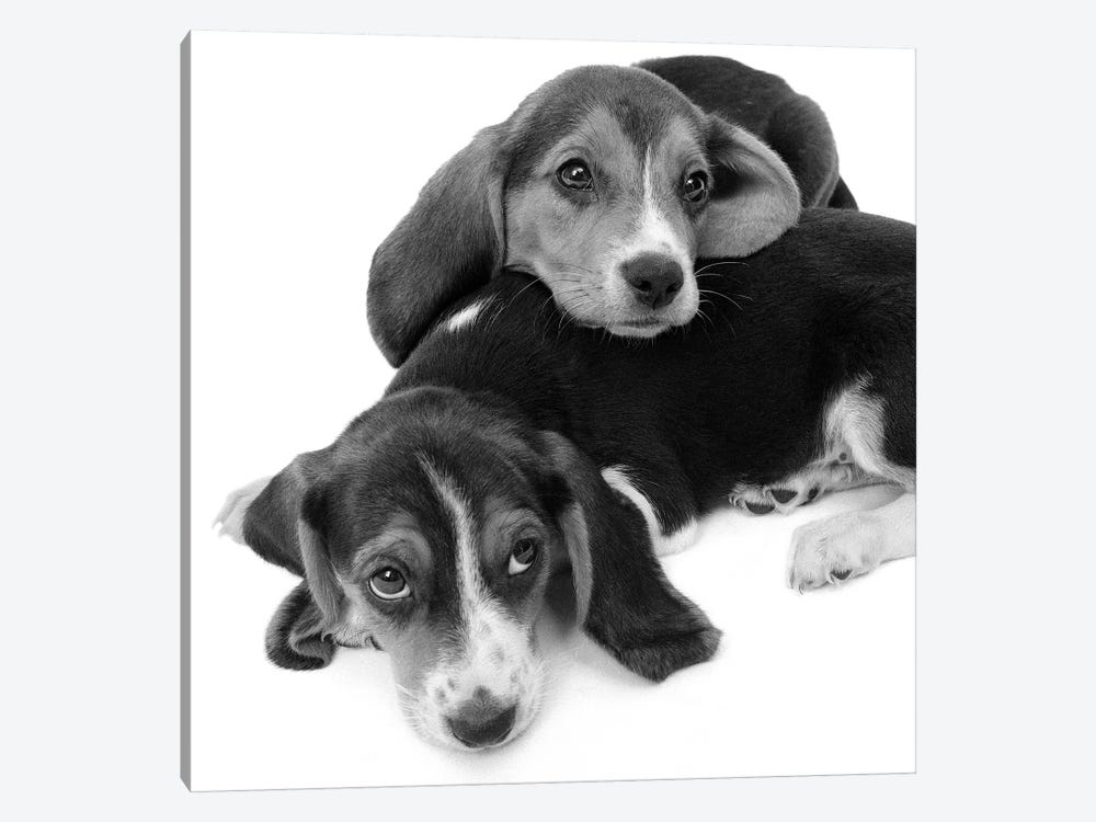 1960s Two Adorable Sad Eyed Beagle Puppies Lying One On Top The Other by Vintage Images 1-piece Canvas Art
