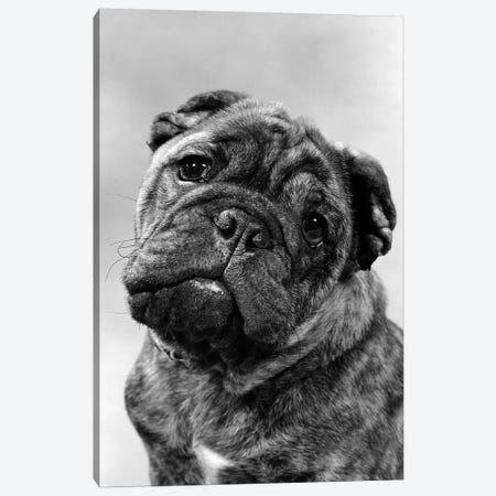 Cute Bulldog Face Looking At Camera 3-Piece Canvas #VTG623} by Vintage Images Canvas Artwork