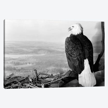 Museum Setting View Of Bald Eagle With Head Turned To Side Perched On Branch Overlooking Landscape Canvas Print #VTG631} by Vintage Images Canvas Art Print