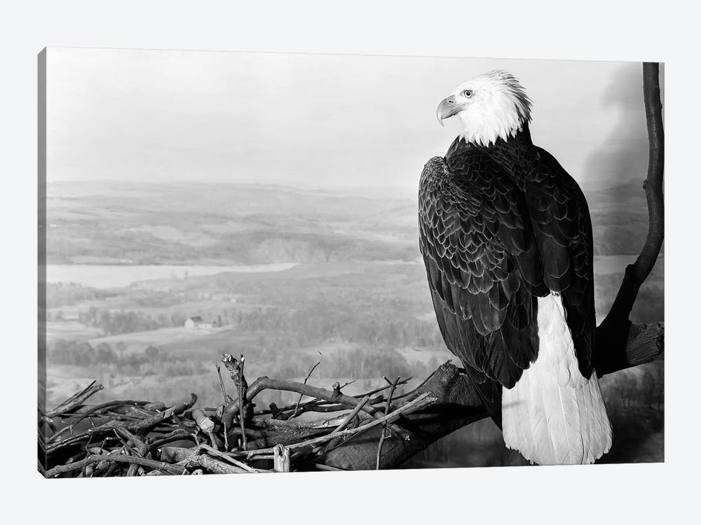 Museum Setting View Of Bald Eagle With Head Turned To Side Perched On Branch Overlooking Landscape by Vintage Images 1-piece Canvas Wall Art
