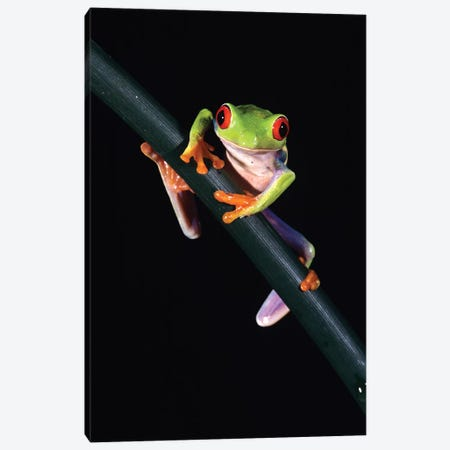 Red-Eyed Tree Frog Agalychnis Callidryas Central America Canvas Print #VTG638} by Vintage Images Canvas Print