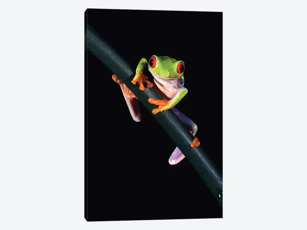 Red-Eyed Tree Frog Agalychnis Callidryas Central America by Vintage Images 1-piece Art Print
