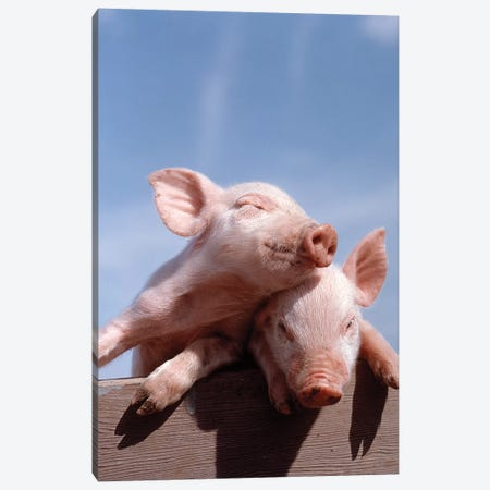 Two Piglets Leaning Against Each Other On Fence Rail 3-Piece Canvas #VTG645} by Vintage Images Canvas Art Print